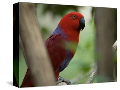 Female Grand Eclectus Parrot at the Zoo-Joel Sartore-Stretched Canvas Print