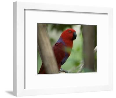 Female Grand Eclectus Parrot at the Zoo-Joel Sartore-Framed Photographic Print