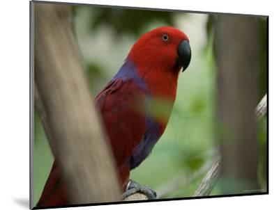Female Grand Eclectus Parrot at the Zoo-Joel Sartore-Mounted Photographic Print
