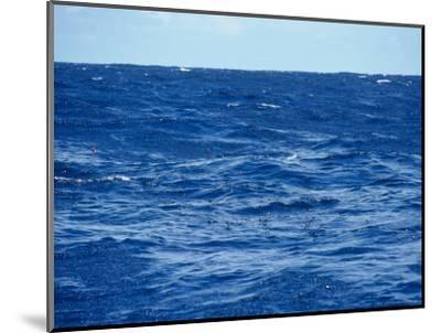 Flock of Wilsons Storm Petrels Feeding on the Ocean Surface, Australia-Jason Edwards-Mounted Photographic Print