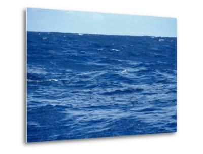 Flock of Wilsons Storm Petrels Feeding on the Ocean Surface, Australia-Jason Edwards-Metal Print