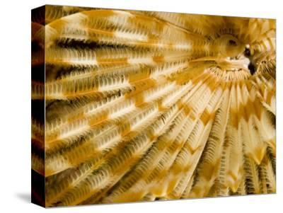 Detail of a Tube Worm's Feather-Like Feeding Arms, Malapascua Island, Philippines-Tim Laman-Stretched Canvas Print