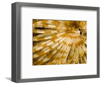 Detail of a Tube Worm's Feather-Like Feeding Arms, Malapascua Island, Philippines-Tim Laman-Framed Photographic Print