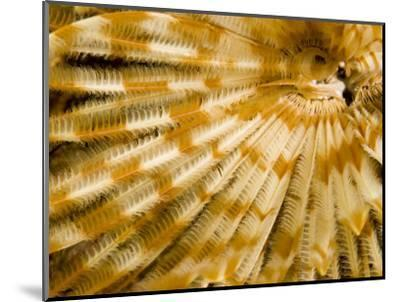 Detail of a Tube Worm's Feather-Like Feeding Arms, Malapascua Island, Philippines-Tim Laman-Mounted Photographic Print