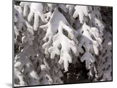 Detail of Snow on Conifer Branches-Tim Laman-Mounted Photographic Print
