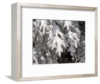 Detail of Snow on Conifer Branches-Tim Laman-Framed Photographic Print