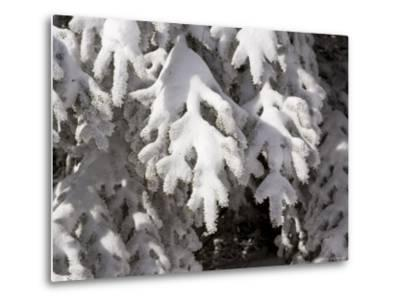 Detail of Snow on Conifer Branches-Tim Laman-Metal Print