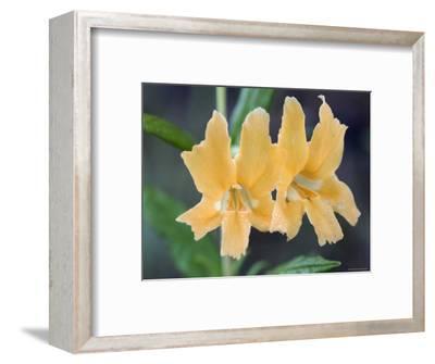 Common Monkey Flower Closeup, California-Rich Reid-Framed Photographic Print