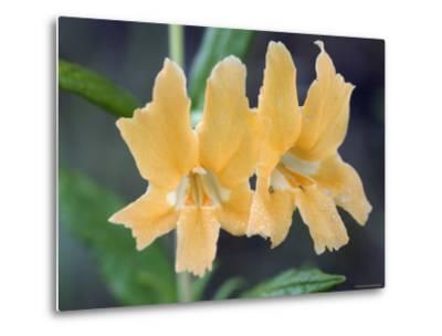 Common Monkey Flower Closeup, California-Rich Reid-Metal Print