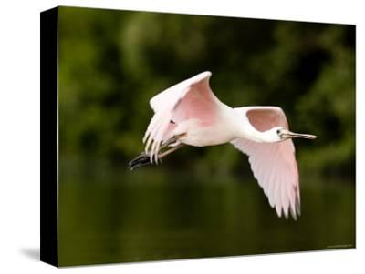 Juvenile Roseate Spoonbill in Flight, Tampa Bay, Florida-Tim Laman-Stretched Canvas Print