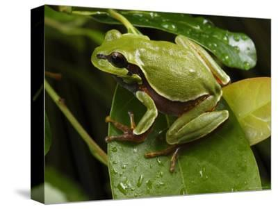 Endangered Pine Barrens Treefrog Hops Onto a Leaf-George Grall-Stretched Canvas Print