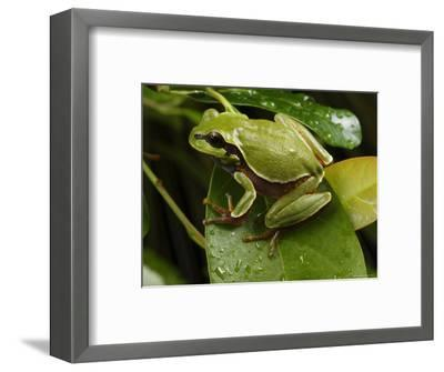 Endangered Pine Barrens Treefrog Hops Onto a Leaf-George Grall-Framed Photographic Print