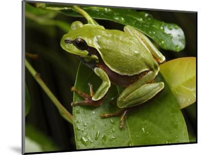 Endangered Pine Barrens Treefrog Hops Onto a Leaf-George Grall-Mounted Photographic Print