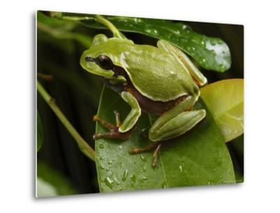 Endangered Pine Barrens Treefrog Hops Onto a Leaf-George Grall-Metal Print