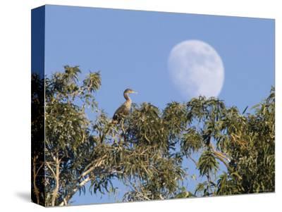 Cormorant in a Tree with a Moon Rising, Santa Barbara, California-Rich Reid-Stretched Canvas Print