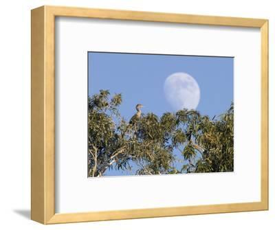 Cormorant in a Tree with a Moon Rising, Santa Barbara, California-Rich Reid-Framed Photographic Print