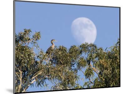 Cormorant in a Tree with a Moon Rising, Santa Barbara, California-Rich Reid-Mounted Photographic Print