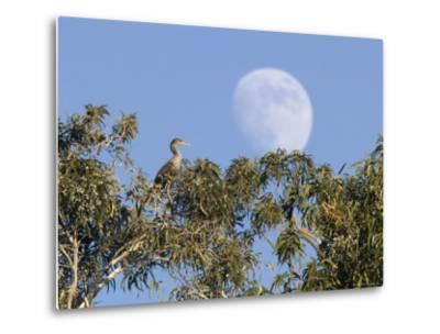 Cormorant in a Tree with a Moon Rising, Santa Barbara, California-Rich Reid-Metal Print