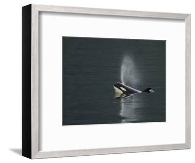 Killer Whale Calf Blows as It Surfaces-Ralph Lee Hopkins-Framed Photographic Print