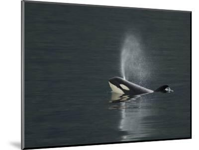 Killer Whale Calf Blows as It Surfaces-Ralph Lee Hopkins-Mounted Photographic Print