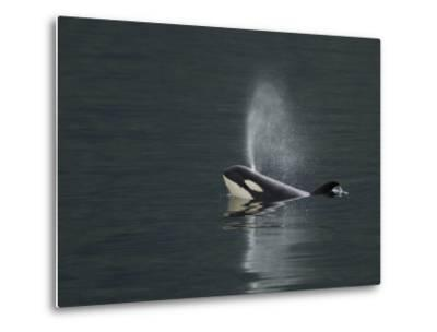 Killer Whale Calf Blows as It Surfaces-Ralph Lee Hopkins-Metal Print