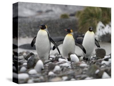 King Penguins Walking on Rocky Shore-Ralph Lee Hopkins-Stretched Canvas Print