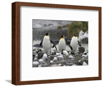 King Penguins Walking on Rocky Shore-Ralph Lee Hopkins-Framed Photographic Print