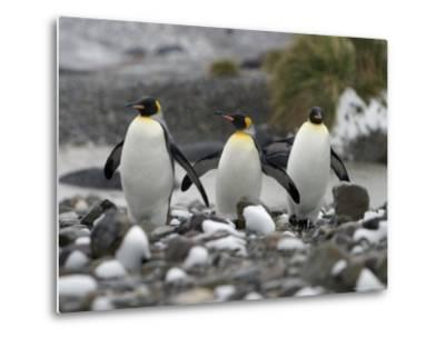 King Penguins Walking on Rocky Shore-Ralph Lee Hopkins-Metal Print