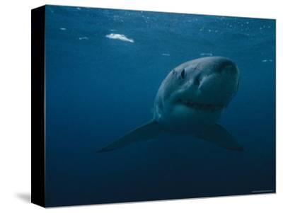 Great White Shark, Australia-Bill Curtsinger-Stretched Canvas Print