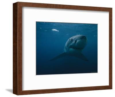 Great White Shark, Australia-Bill Curtsinger-Framed Photographic Print