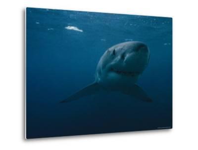 Great White Shark, Australia-Bill Curtsinger-Metal Print