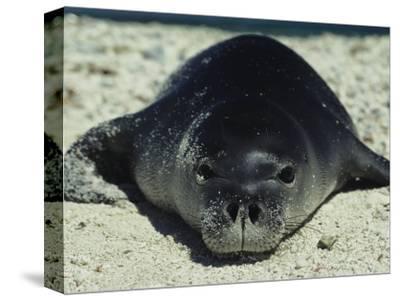 Hawaiian Monk Seal-Bill Curtsinger-Stretched Canvas Print
