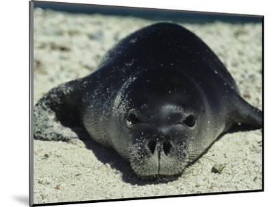 Hawaiian Monk Seal-Bill Curtsinger-Mounted Photographic Print