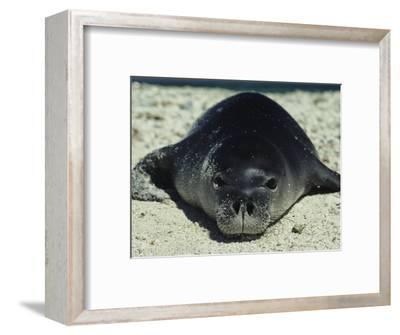 Hawaiian Monk Seal-Bill Curtsinger-Framed Photographic Print