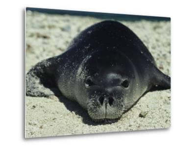 Hawaiian Monk Seal-Bill Curtsinger-Metal Print