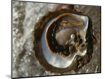 Cultured Pearl Grows in a Two-Year Old Oyster, Australia-David Doubilet-Mounted Photographic Print