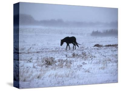 One Horse Walking Along in Winter Snow Storm, Kansas-Brimberg & Coulson-Stretched Canvas Print