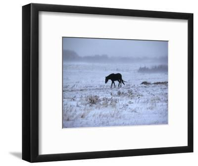 One Horse Walking Along in Winter Snow Storm, Kansas-Brimberg & Coulson-Framed Photographic Print