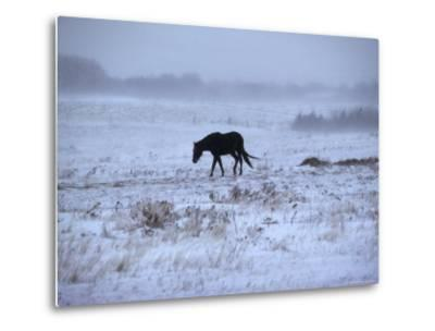 One Horse Walking Along in Winter Snow Storm, Kansas-Brimberg & Coulson-Metal Print