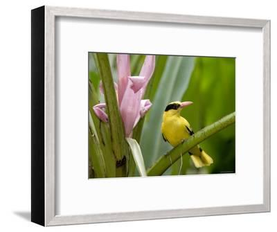 Portrait of a Black-Naped Oriole, Singapore-Tim Laman-Framed Photographic Print