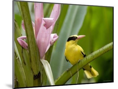 Portrait of a Black-Naped Oriole, Singapore-Tim Laman-Mounted Photographic Print