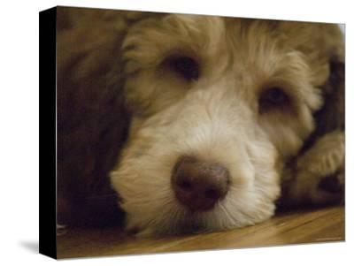 Puppy Rests on a Wood Floor, Lincoln, Nebraska-Joel Sartore-Stretched Canvas Print