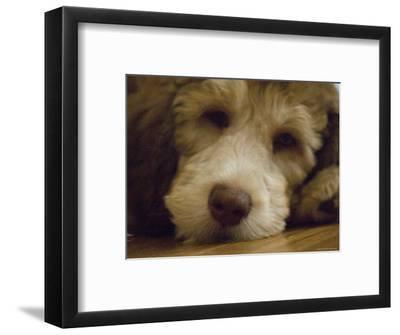 Puppy Rests on a Wood Floor, Lincoln, Nebraska-Joel Sartore-Framed Photographic Print