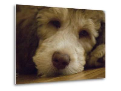 Puppy Rests on a Wood Floor, Lincoln, Nebraska-Joel Sartore-Metal Print