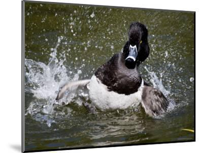 Ring-Necked Duck Swimming, San Diego, California-Tim Laman-Mounted Photographic Print