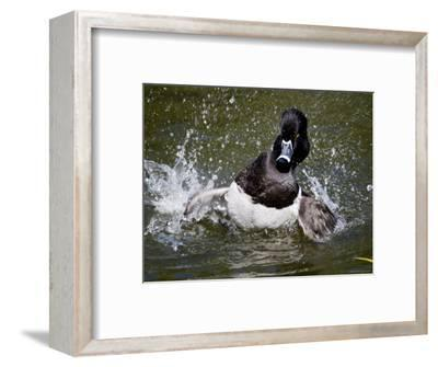 Ring-Necked Duck Swimming, San Diego, California-Tim Laman-Framed Photographic Print