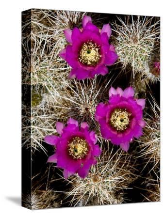 Pink-Flower Hedgehog Cactus, Anza-Borrego Desert State Park, California-Tim Laman-Stretched Canvas Print