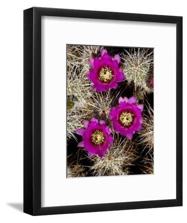 Pink-Flower Hedgehog Cactus, Anza-Borrego Desert State Park, California-Tim Laman-Framed Photographic Print