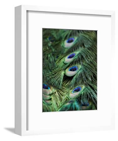 Peacock Feather Detail-Tim Laman-Framed Photographic Print