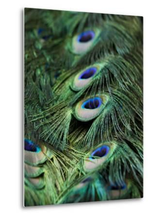 Peacock Feather Detail-Tim Laman-Metal Print